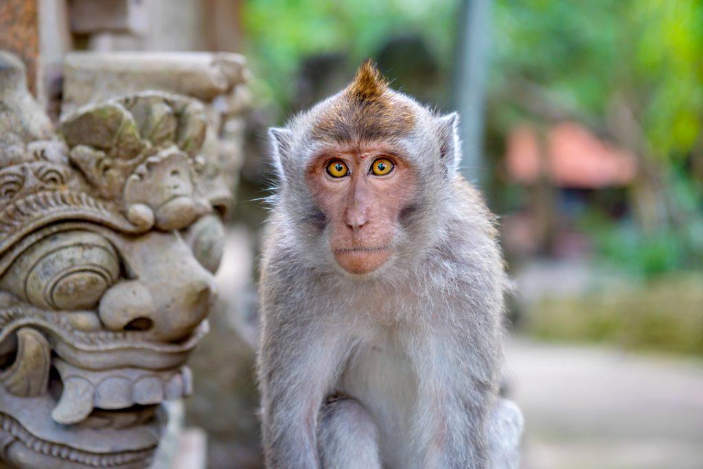Khỉ bali